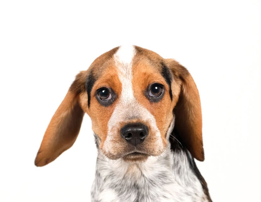 Beagle dog for Adoption in St. Louis Park, MN. ADN781177
