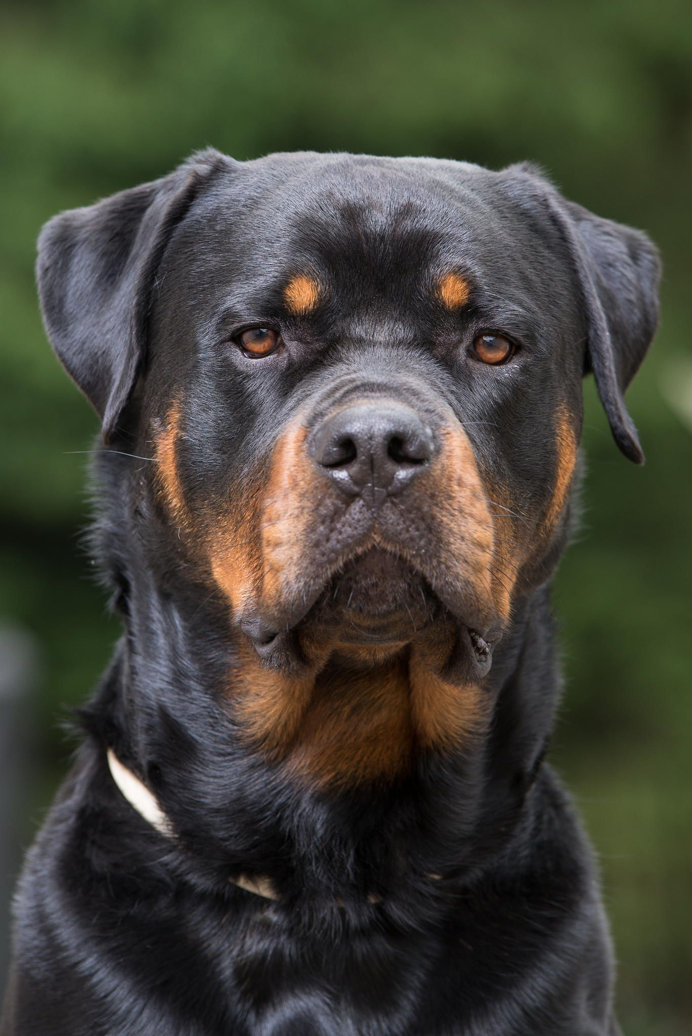 Rottweiler Loving Confident And Loyal Rottweilers Pinterest