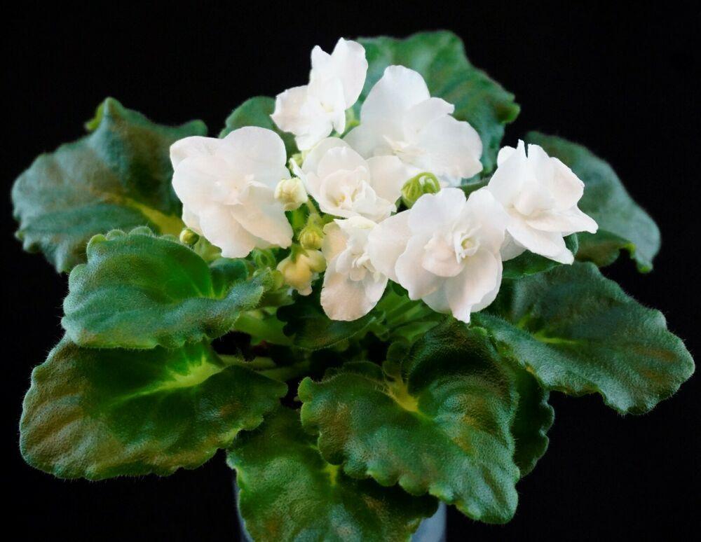 Mouse Maid foglio//Leaf African Violet usambaraveilchen