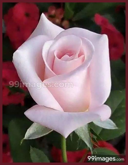Roses Beautiful Hd Photos 1080p 8553 Roses Flower Love Yelloorose Whiterose Bluerose Redrose Love Flowers Rose Seeds Beautiful Roses