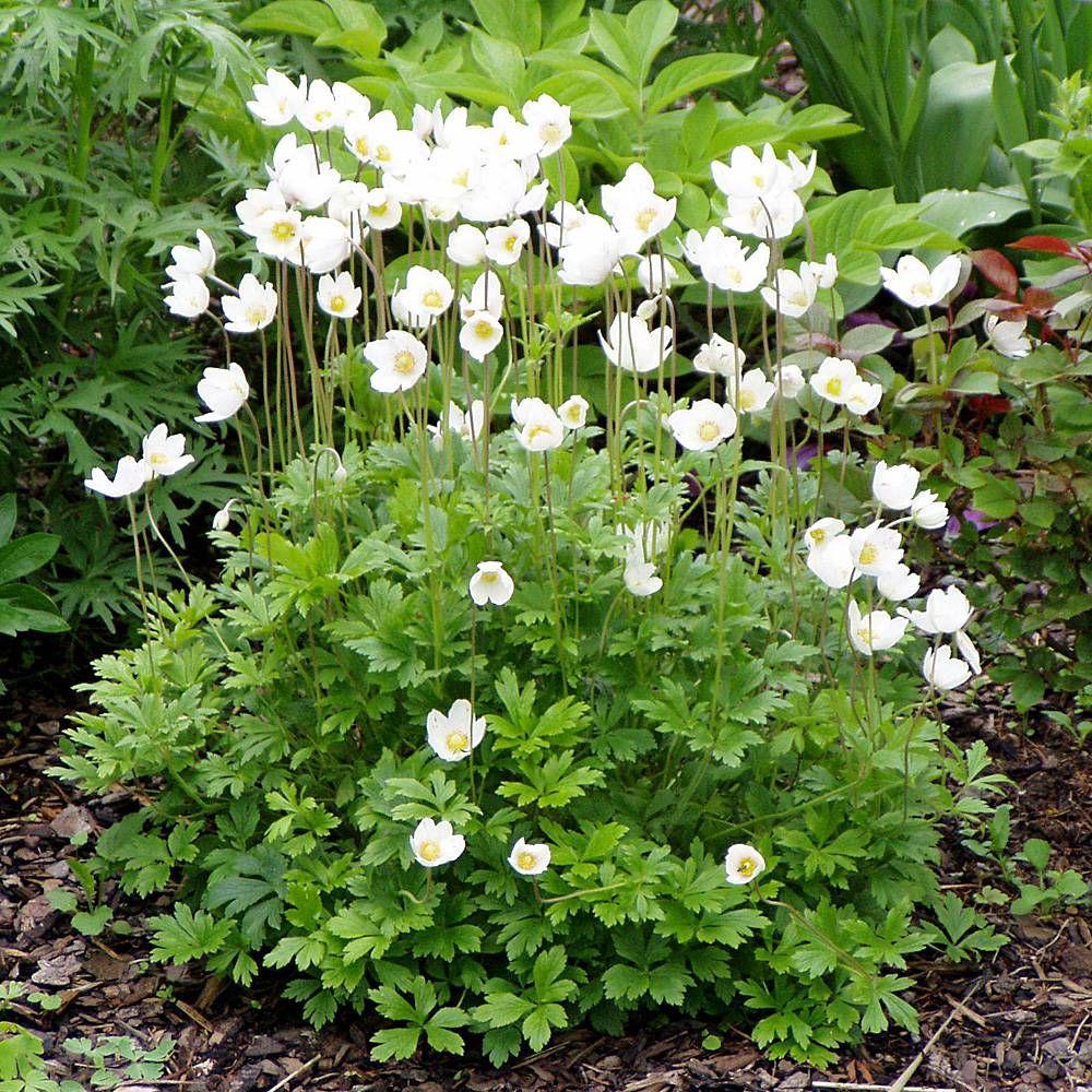 Waldanemone #einheimischepflanzen