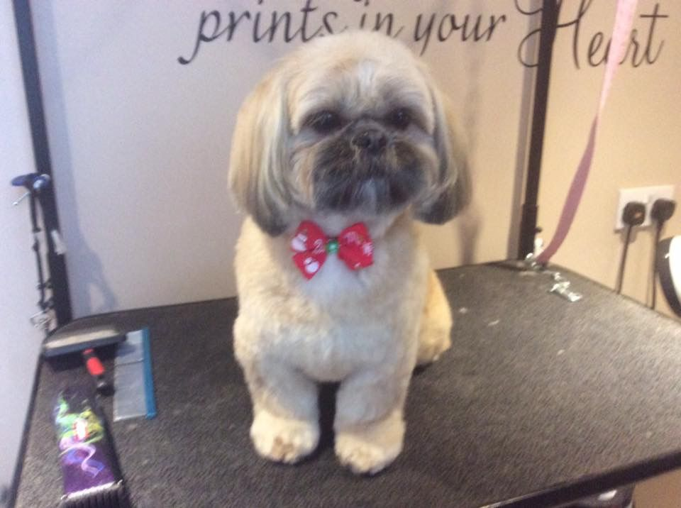 Pin By Cathy Wood On Priscilla Rosanna My Shih Tzu S West