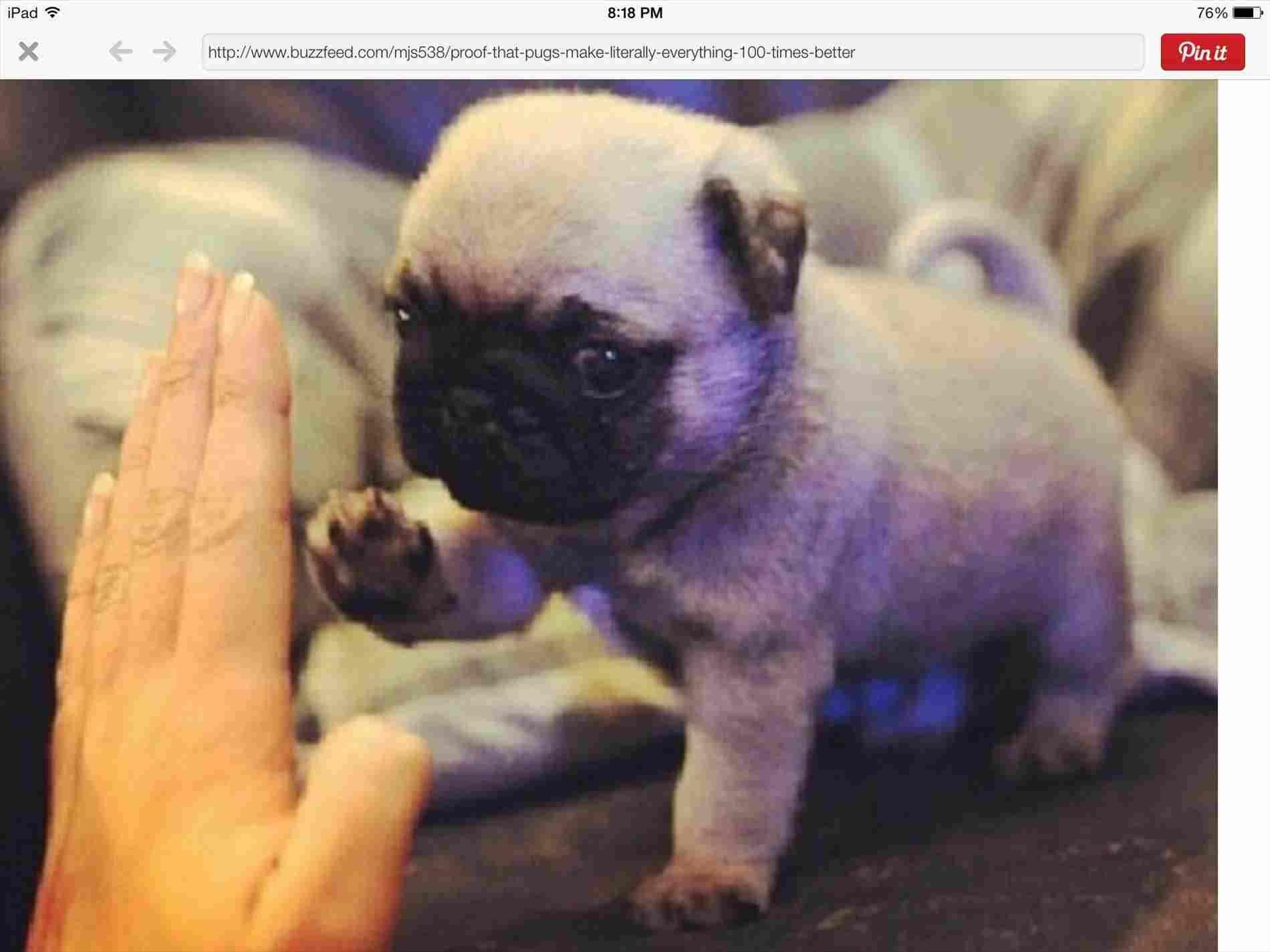 Cute Baby Pug Cute Baby Pugs Baby Animals Funny Dog Memes