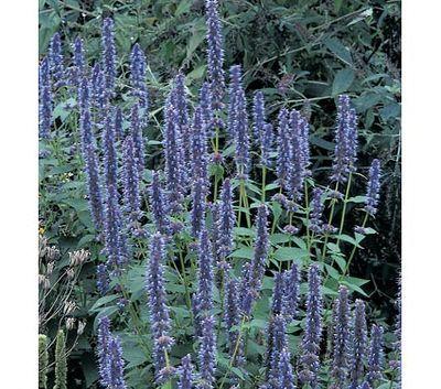 Agastache (Blue Fortune Agastache)