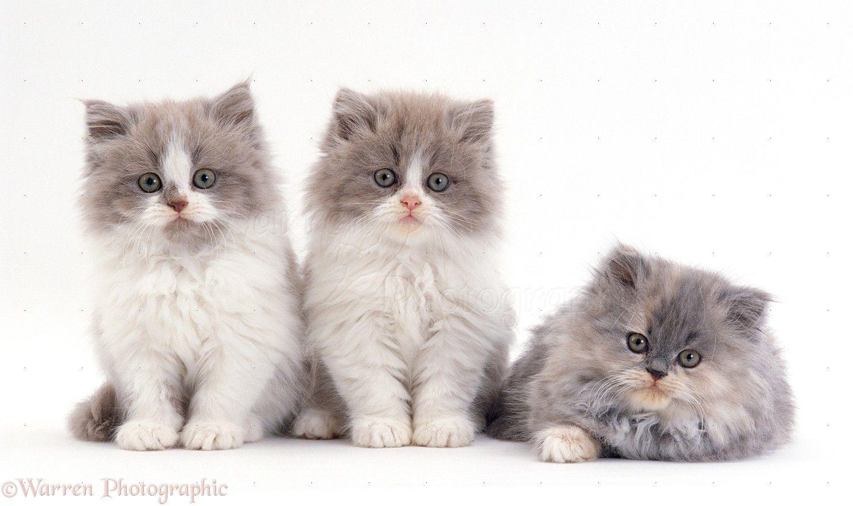 Persian Cat Wp23917 Persian Cross Lilac Bicolour And Blue Cream