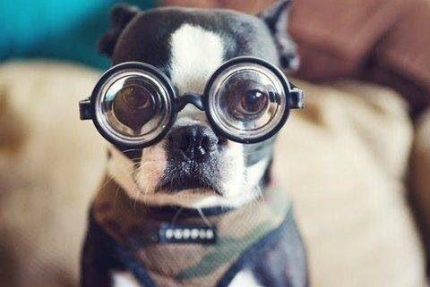 Boston terrier dog wearing eyeglasses