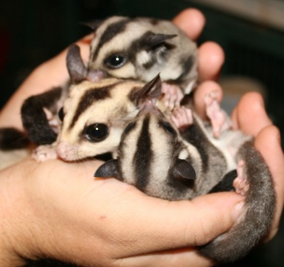 Sugargliders. Want one!