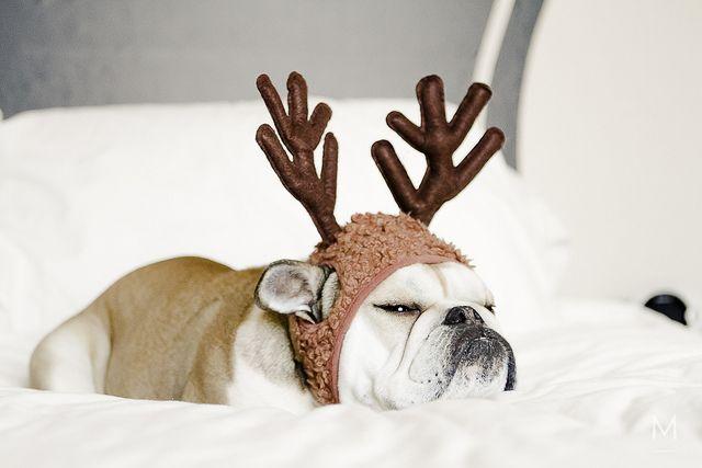 Christmas 2012 - Bulldog Reindeer by Michele Nicolette, via Flickr