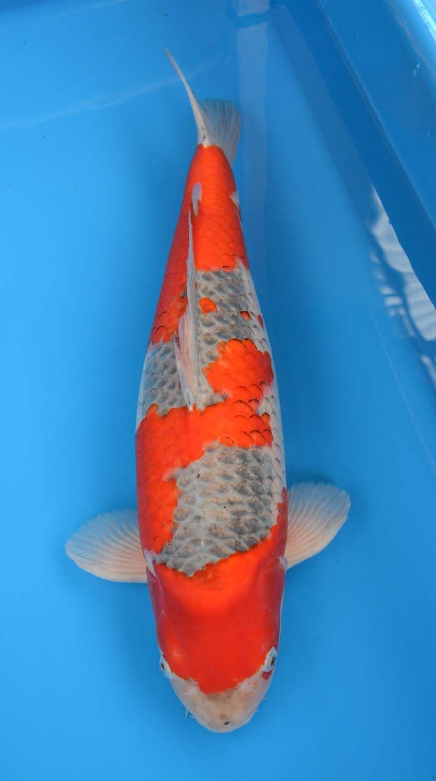 Goshiki Koi Fish Colors Koi Fish Pond Koi Carp