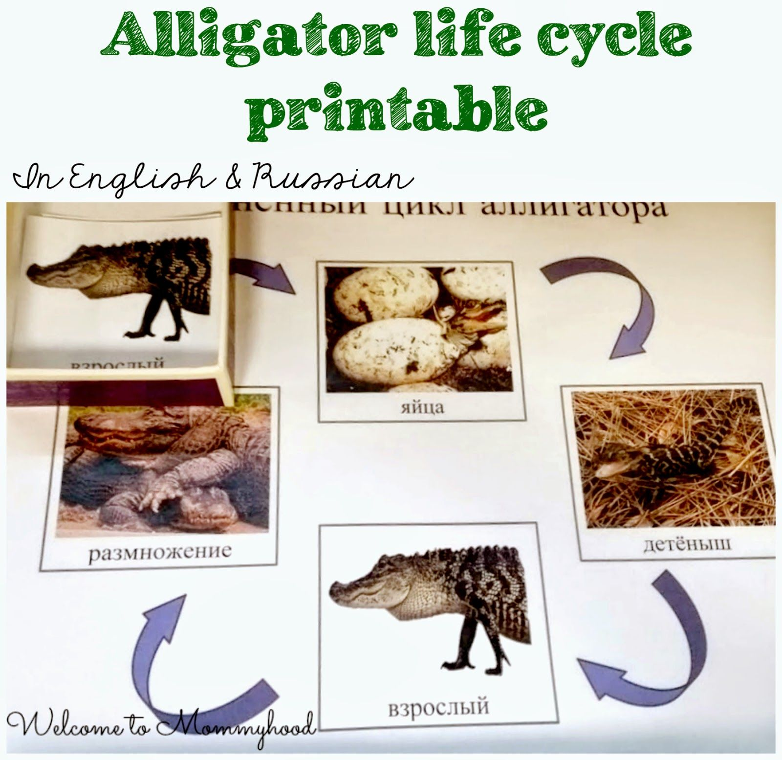 Preschool Activities Free Alligator Printables And Activities By Welcome To