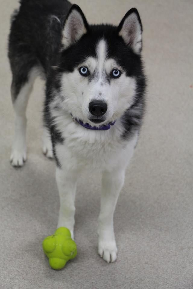 Stray Male Found 12 14 17 In Wisconsin Siberian Husky