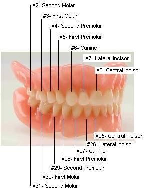 Tooth Numbers Diagram: Diagrams of how primary and permanent teeth ...