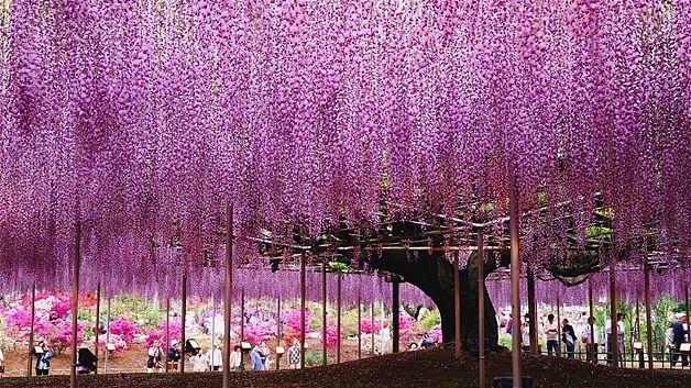 Floral Fireworks A Wisteria Trellis Blooms In Ashikaga Flower Park Ashikaga Tochigi Japan Wisteria Landscape Ashikaga