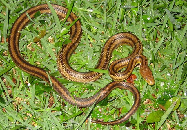 Yellow Rat Snake Information Facts Rat Snake Snake Snake