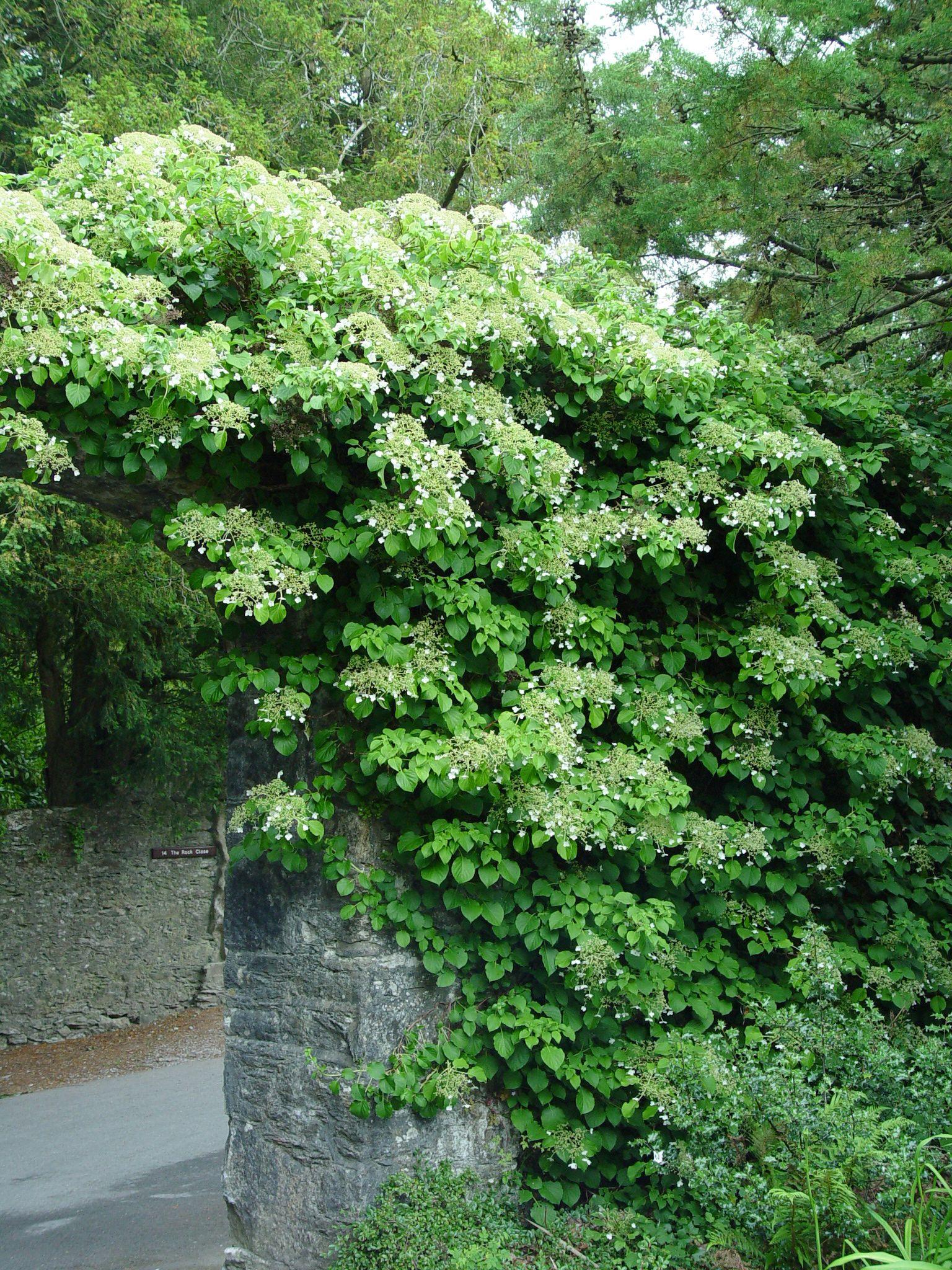 Climbinghydrangeaonech Climbing Hydrangea Hydrangea Anomala