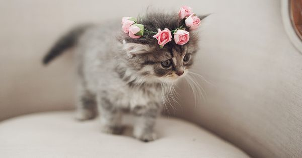 Hoggle the kitty in a tiny floral crown | Animals - adorbs | Pinterest | Crowns, Floral Crowns and Kitty
