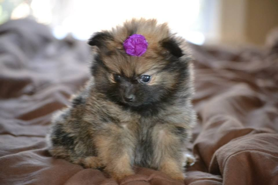 A Pup From My Litter Of Pomeranian Puppies She Is 6 Weeks Old Pomeranian Puppy Puppies Cute Dogs
