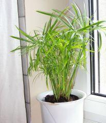 conserver le papyrus dans un pot lui m me dans un cache pot rempli d 39 eau au l 39 int rieur l. Black Bedroom Furniture Sets. Home Design Ideas