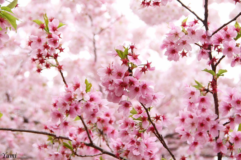 By Yumi Japanese Garden Cherry Blossom Flowers Photography
