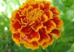 marigold garlands indian | Marigold Orange
