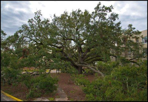 Friendship oak  (live oak)