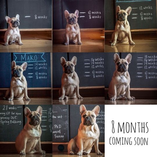 French Bulldog Puppy Growth Chart Collage Bulldog Puppies