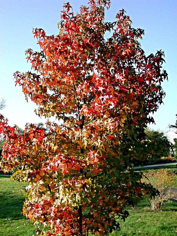 Amberbaum Philipps Universitat Marburg Botanischer Garten Botanischer Garten Garten Baum