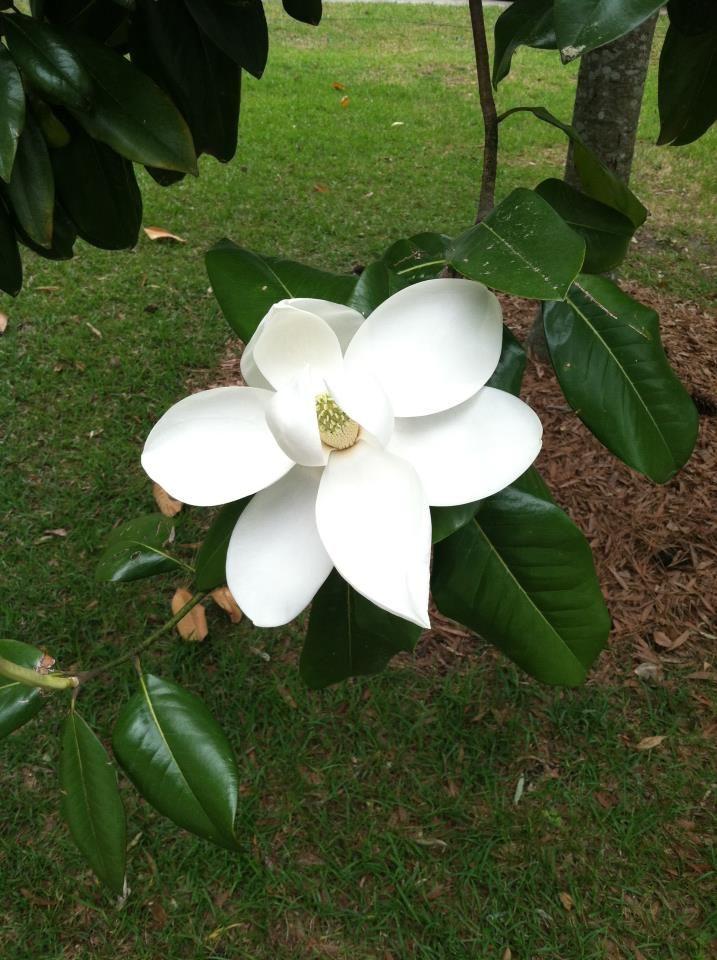 Magnolia Tree Best Smell In The World Magnolia Trees Magnolia Tree