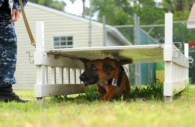 A Military Working Dog Runs Through An Obstacle Course As Part Of