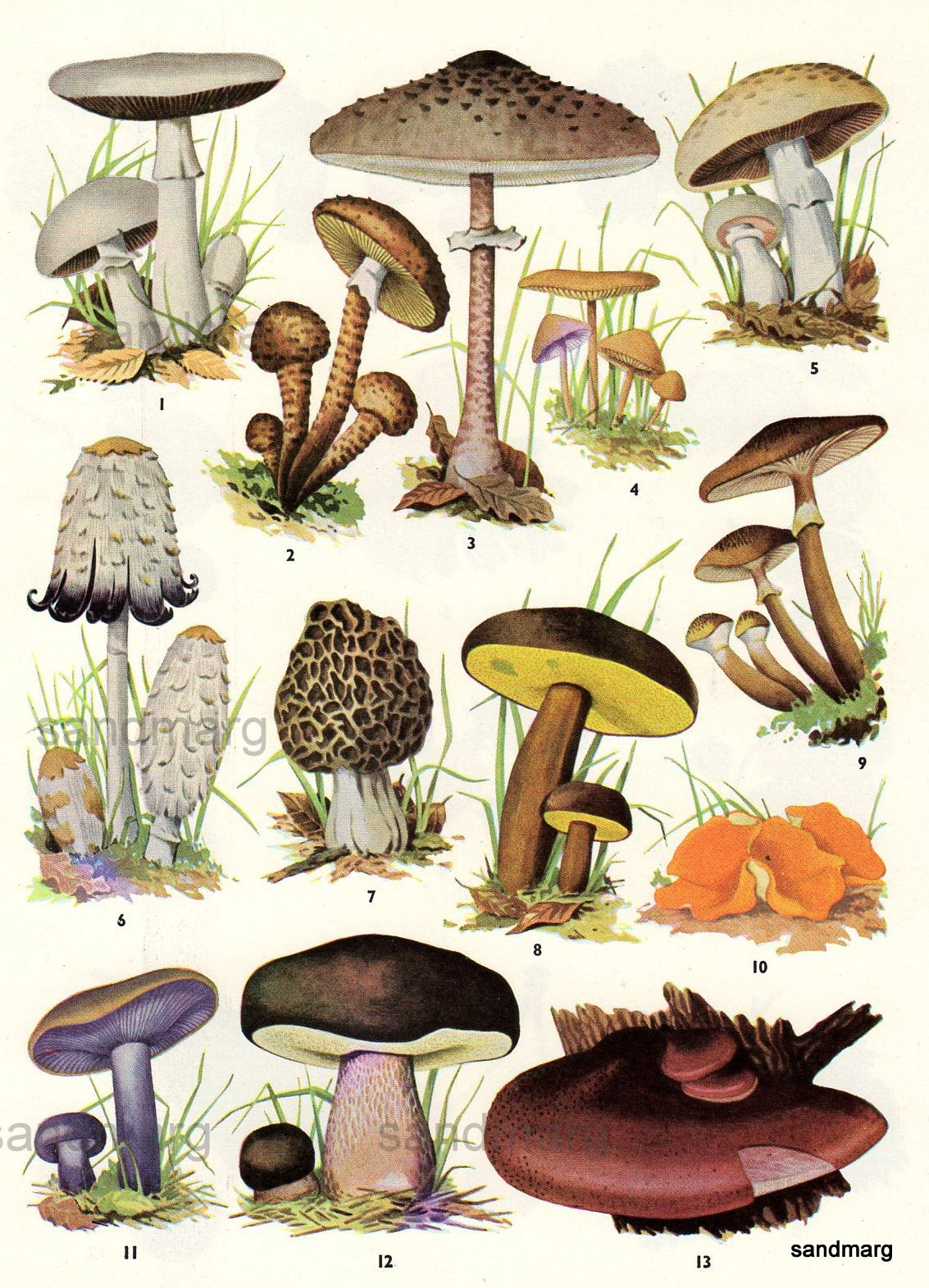 Sandmarg chart of edible mushrooms also preparedness rh pinterest