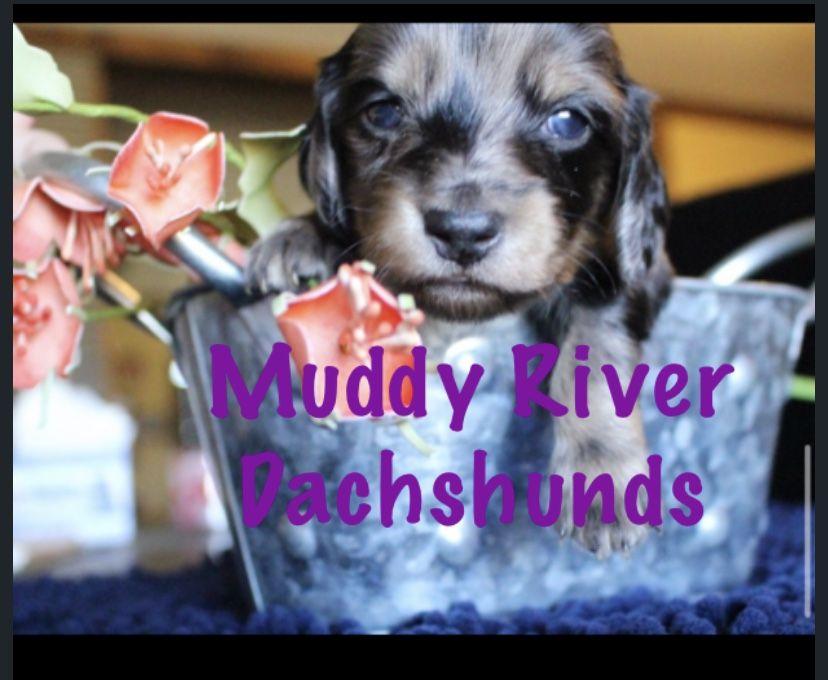 Dapples Miniature Dachshund In 2020 Dachshund Puppy Miniature Dachshund Puppies Dachshund Puppies For Sale
