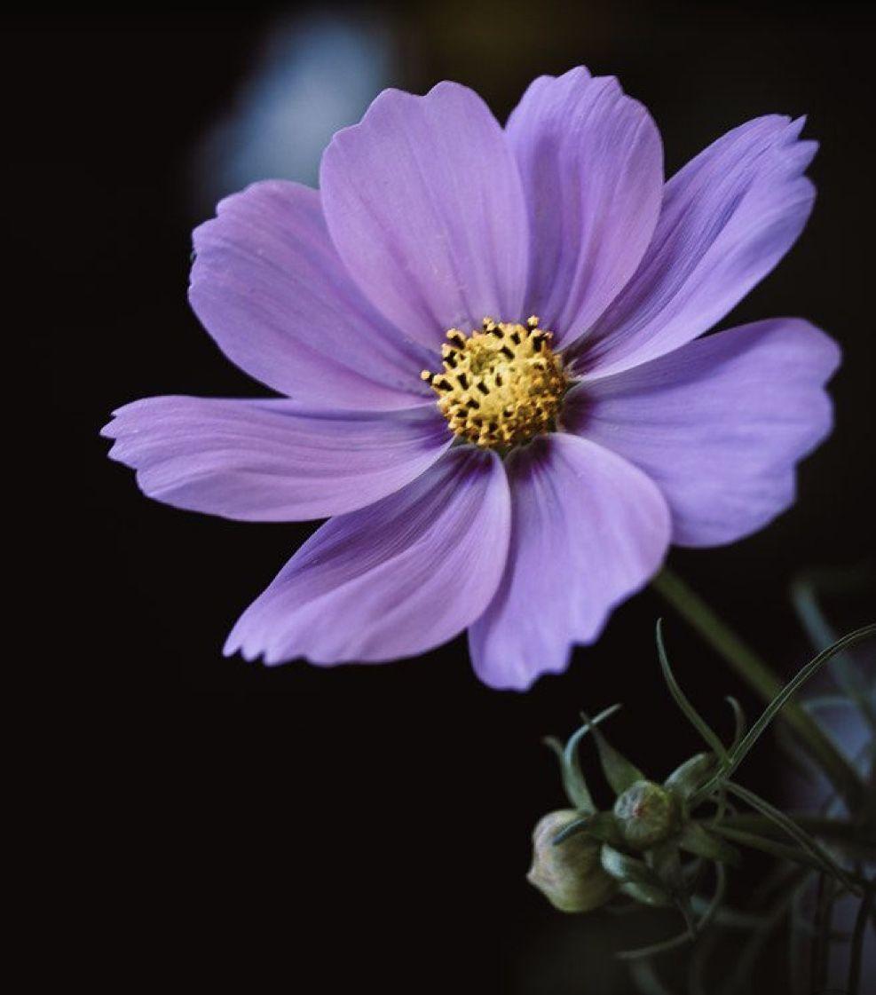 Pin By Insha Niaz On Flowers In 2020 Cosmos Flowers Wallpaper Nature Flowers Amazing Flowers