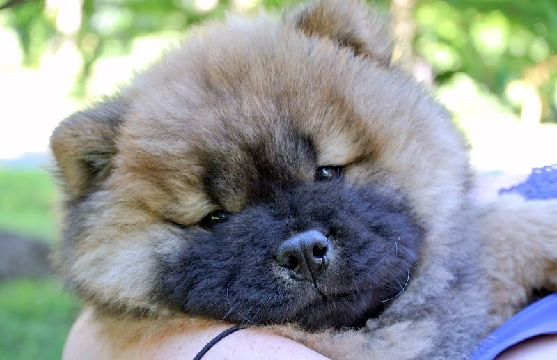 How Fantastic Chow Chow Puppies Baby Puppies