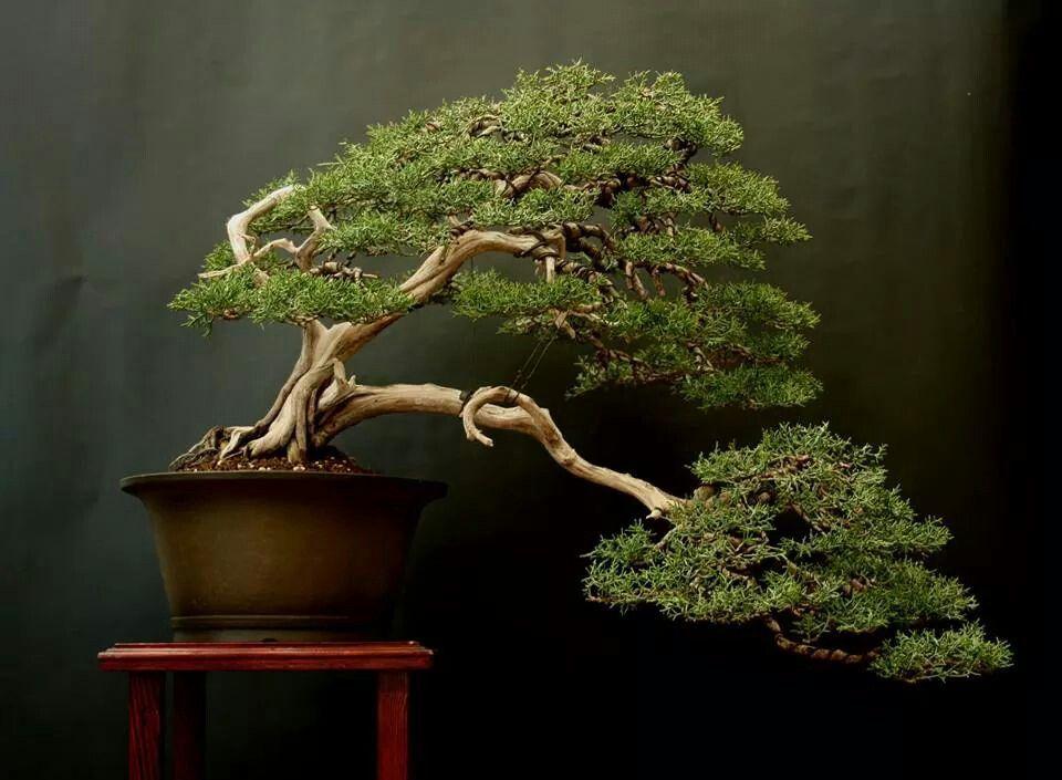 A. bonsai