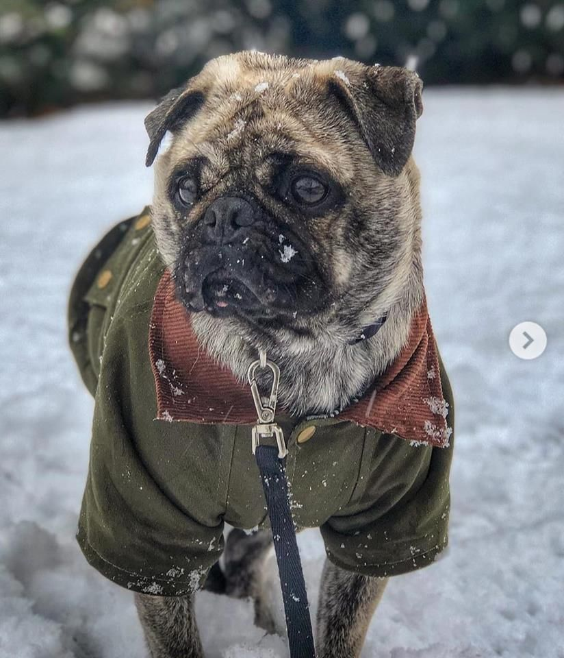 Urban Pup Country Style Unisex Coat Available At Www Ilovepugs Co Uk Sizes S Xxl Post Worldwide Urban Pup Barbour Style Pup