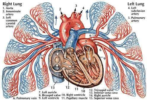 pulmonary circulation | Learning for Life | Pinterest | Diagram ...