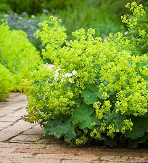 Alchemilla mollis Plantas de sombra, Plantas y Plantas jardin - plantas para jardin