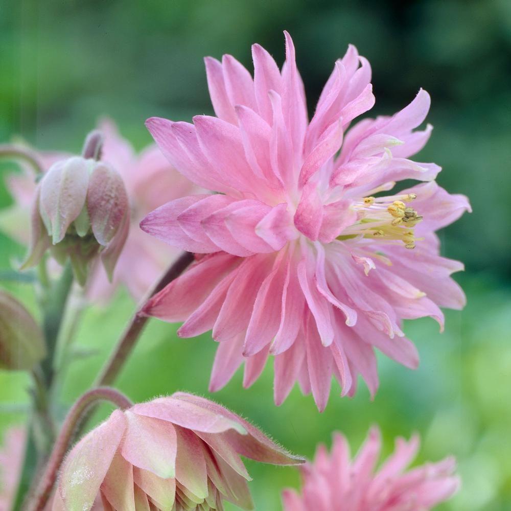 Aquilegia Pink Barlow Longfield Gardens Shade Flowers Garden Flowers Perennials Flowers Perennials