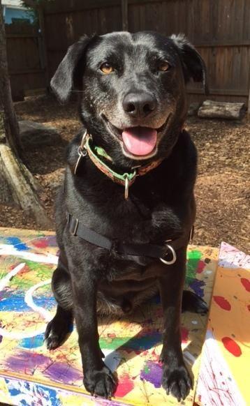 Adopt Mojo on Black labrador retriever, Retriever dog