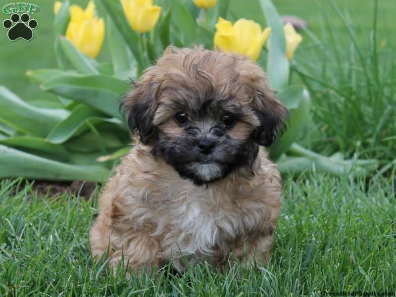 Bella A Shih Poo Puppy For Sale From Lititz Pa This Will Be My