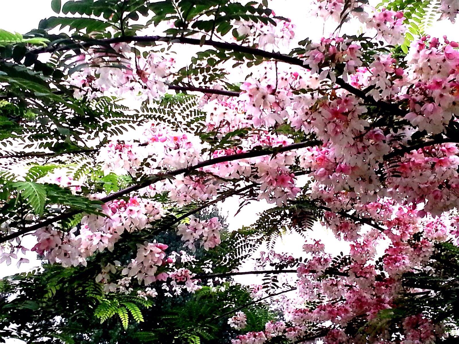 Cassia Nodusa Flowering Trees Beautiful Flowers Planting Flowers