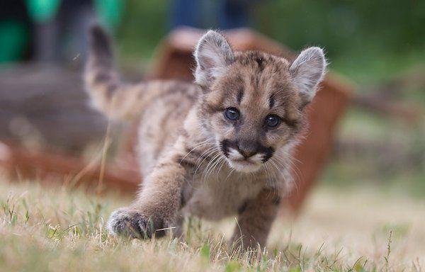 Tierpark Friedrichsfelde Puma Baby In Berlin Geboren Tierpark Tierpark Berlin Tiere