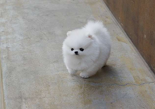 Extremle stunning male and female Teacup pomeranian