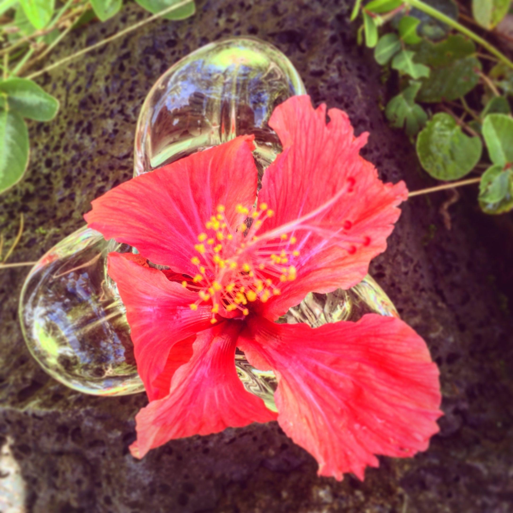 Hibiscus Flower Essence Clarity Renewal Vibrational Remedy Flower Essences Hibiscus Flowers Hibiscus
