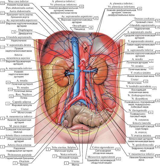 Анатомия женских органов в картинках мышцы 10