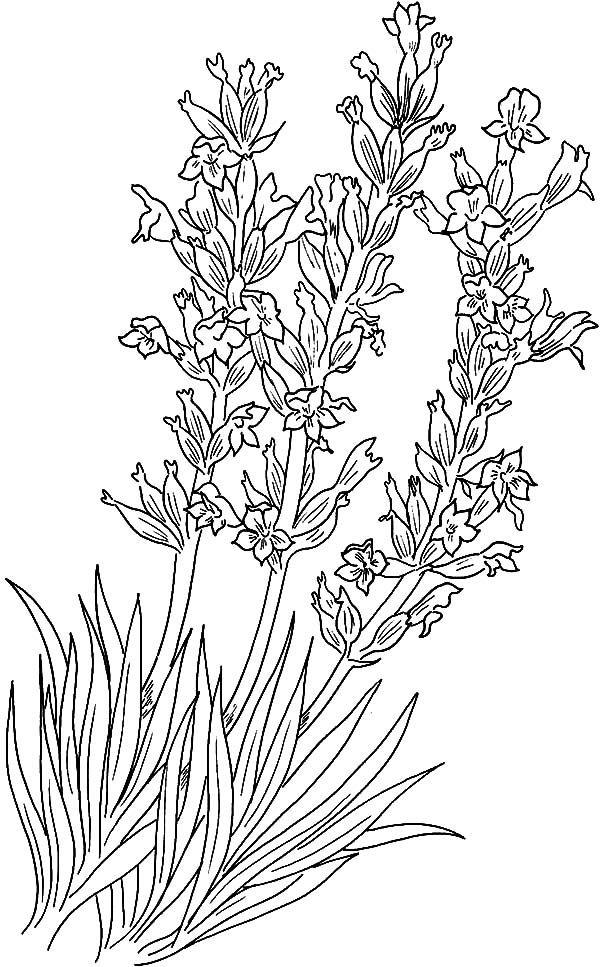 Lavender Flower Implantation Coloring Pages