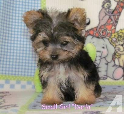 Adorable Yorkie Ton Puppies Non Shed Allergy Friendly Yorkie Dogs For Sale Teddy Bear Dog Yorkie