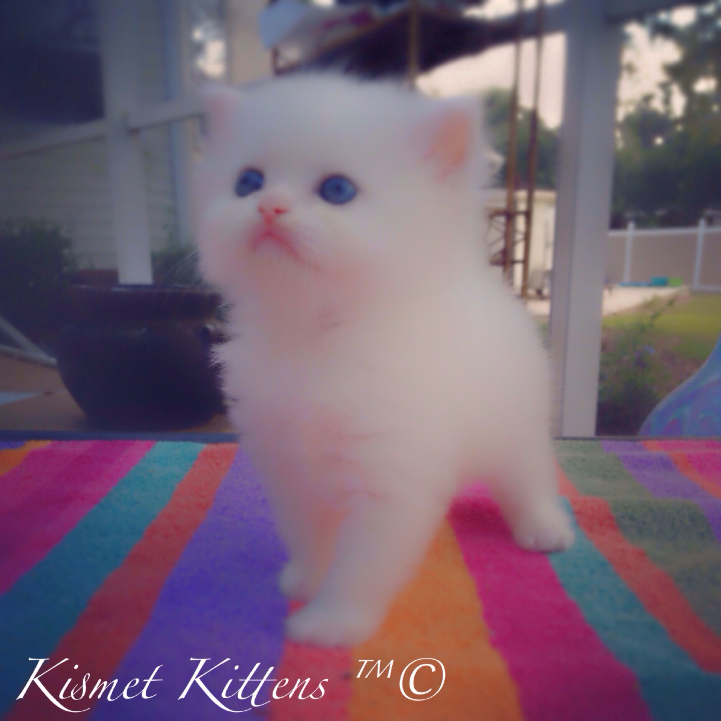 Pin By John Expert On Teacup Persian Kittens For Sale White Persian Kittens Persian Kittens Cat With Blue Eyes