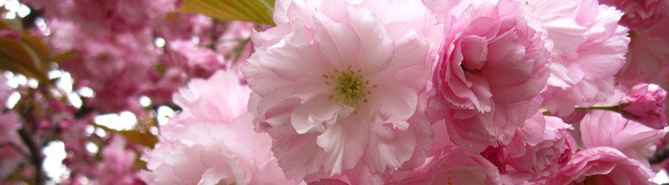 Cherry Blossoms At Bbg Brooklyn Botanic Garden Most Popular Flowers Cherry Blossom Festival Brooklyn Botanical Garden