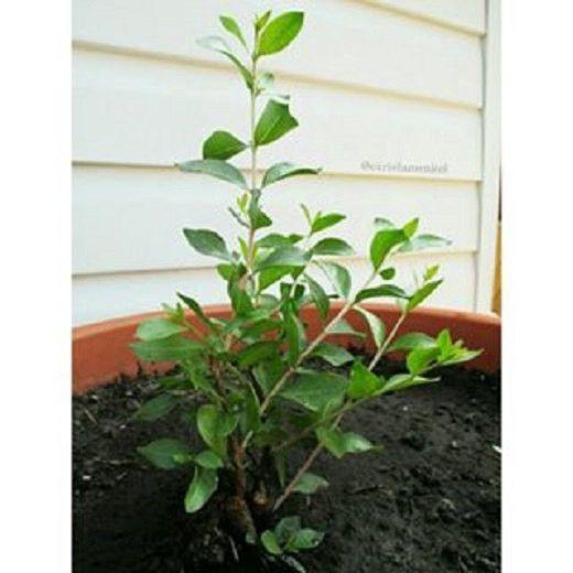 Lawsonia Inermis Henna Plant Seed Henna Henna Plant Plants Henna